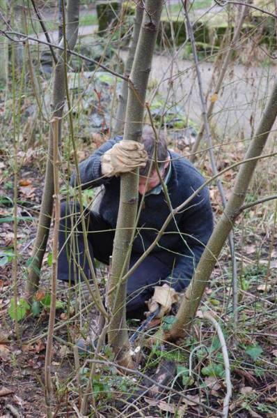 6. coppicing  26_1_13 (Custom).JPG