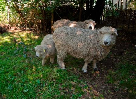 9.sheep and fence 09_09 (Custom).JPG