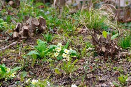 7. recent coppiced stools and primroses (Custom).JPG