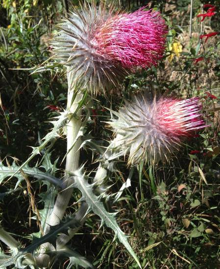 MexiThistle.jpg