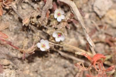 tiny_Montiopsis_Knapp_10524_DSC_5985.JPG