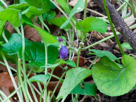 Wildlife Garden-02222013-046 violet 2(Custom).JPG