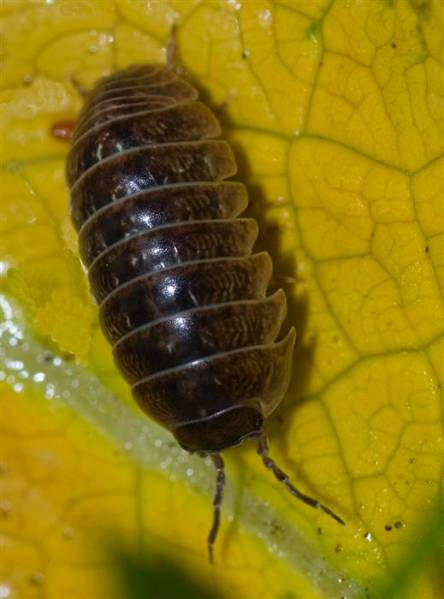 2. woodlouse Armadillium vulgare-03_ Pill bug_Martin Angel (Custom).JPG