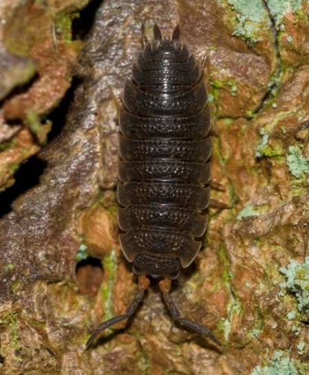 3. Woodlouse Porcellio scaber-0X_Common Rough_Martin Angel (Custom).JPG