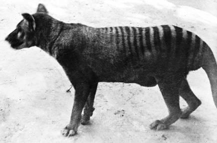 tasmanian-tiger-zoo.jpg