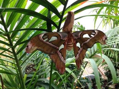 atlas-moth-550-luke.jpg