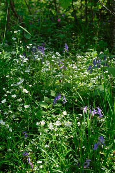 woodland floor - bluebells and stitchwort (Custom).JPG