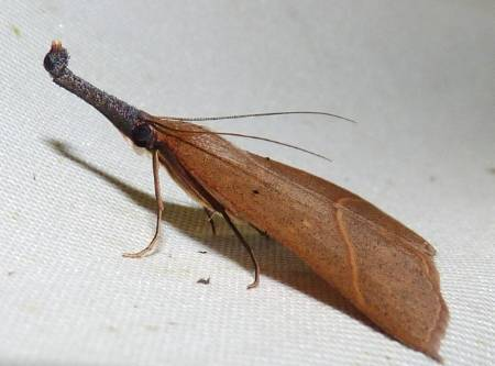 Hypeninae1.jpg