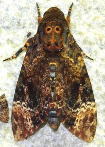 Acherontia lachesis.JPG