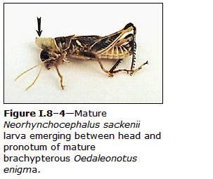 neorhynchocephalus emerging.jpg