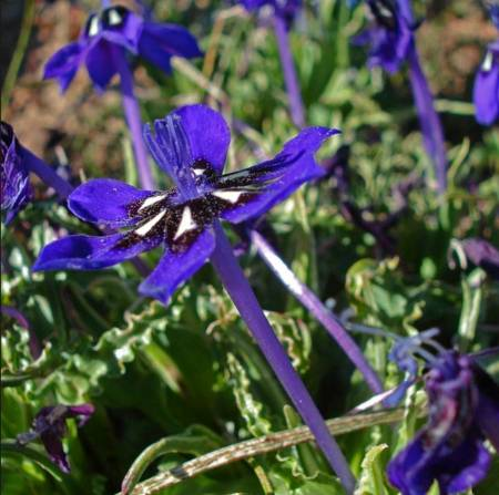 long tubular flower - Lapeirousia oreogena by Judd Kirkel W.jpg