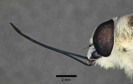 Medium proboscis.jpg