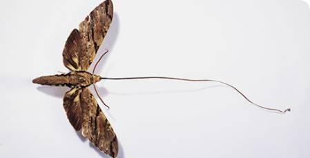 xanthopan-morganii-praedicta-madagascan-sphinx-moth-_105466_1.jpg