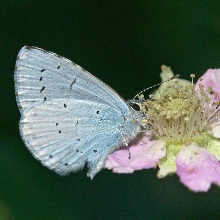 3 Holly Blue_Peter Eeles, Butterfly Conservation.JPG