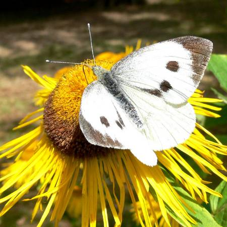 4 Large White_Tim Melling, Butterfly Conservation.JPG