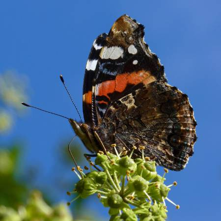 5 Red Admiral_Neil Hulme, Butterfly Conservation.JPG