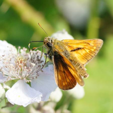 6 Large Skipper_Ian A Kirk, Butterfly Conservation.JPG
