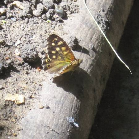 9 Speckled wood.JPG