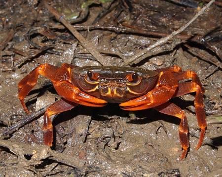 Terrestrial Crab.JPG