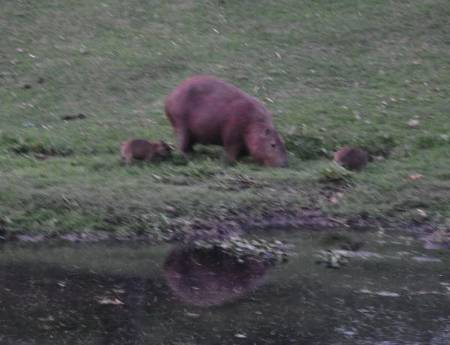 capybara_cropped_DSC_9356_resized.jpg