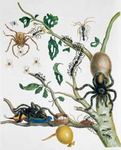 Image-from-Metamorphosis-Insectorum-(1705)_026479.jpg