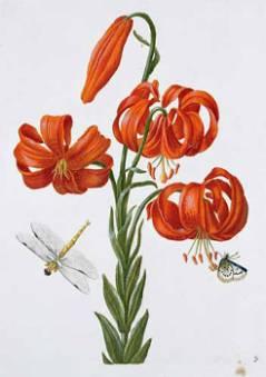 Image-from-Neues-Blumenbuch-(1680)_026470.jpg