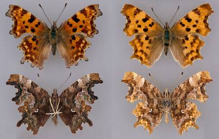 comma-butterflies-700.jpg