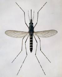 Aedes-cantans-mosquito_021862_IA.jpg