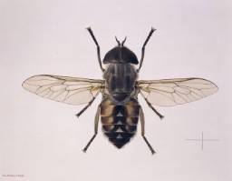 Tabanus-autumnalis-horse-fly_015342_IA.jpg