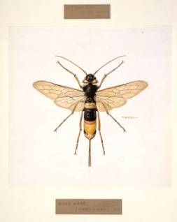 Sirex-gigas-giant-wood-wasp_006554_IA.jpg