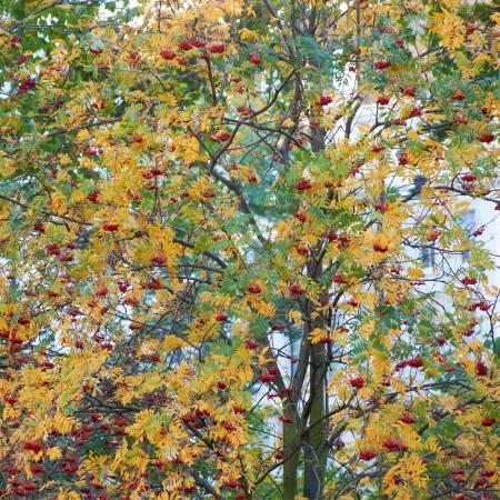 1c - 21 nov 2013 (Rowan trees) J. Jackson.jpg