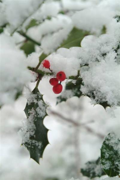 Garden_8-1-03_19 holly_snow (Custom).JPG