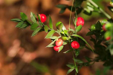 butchers broom002 (Custom).jpg