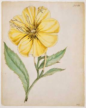 Bartram - Evening primrose NHMPL 015966.jpg