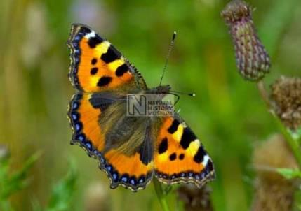 British Butterfly.jpg