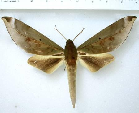 Phylloxiphia oberthueri last edited.jpg