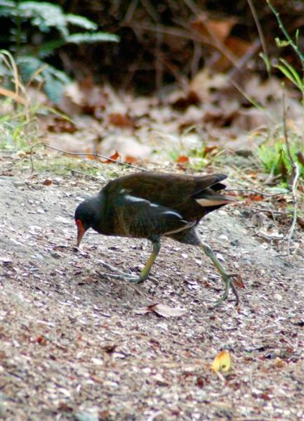5 New Image bridfeeder moorhen 2004 (Custom).JPG