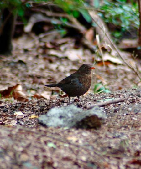 8 New Image female blackbird (Custom).JPG
