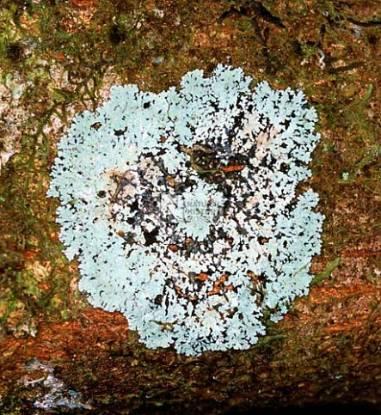 Lichen Sri Lanka.jpg
