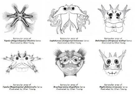 tipulidae drawings.jpg
