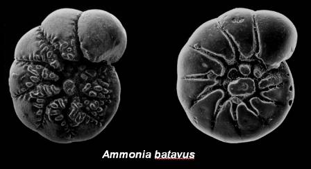 Ammonia_batavus_Palaeoclimate_blog.jpg