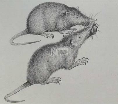 caribbean mammal.jpg