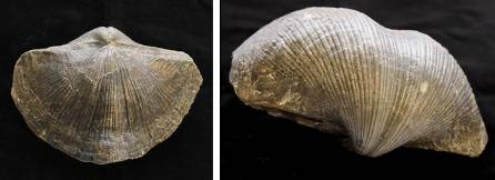brachiopod fossil twin 700.jpg