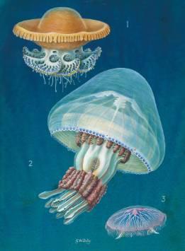 jellyfish-1500.jpg