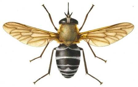 Edwards-2-1-blood-sucking-fly.jpg