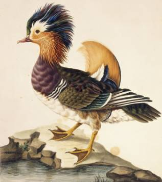 Mandarin duck by Sarah Stone, watercolour on paper c1788