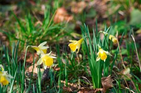 2. .WLG_06032014-108 daffodils (Custom).JPG