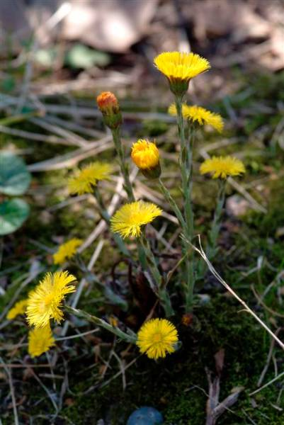 New Image better coltsfoot (Custom).JPG