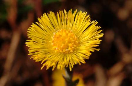 New Image coltsfoot flower (Custom).JPG