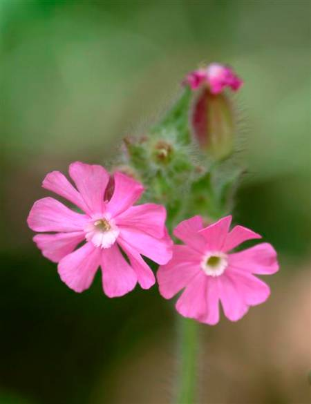 New Image red campion (Custom).JPG
